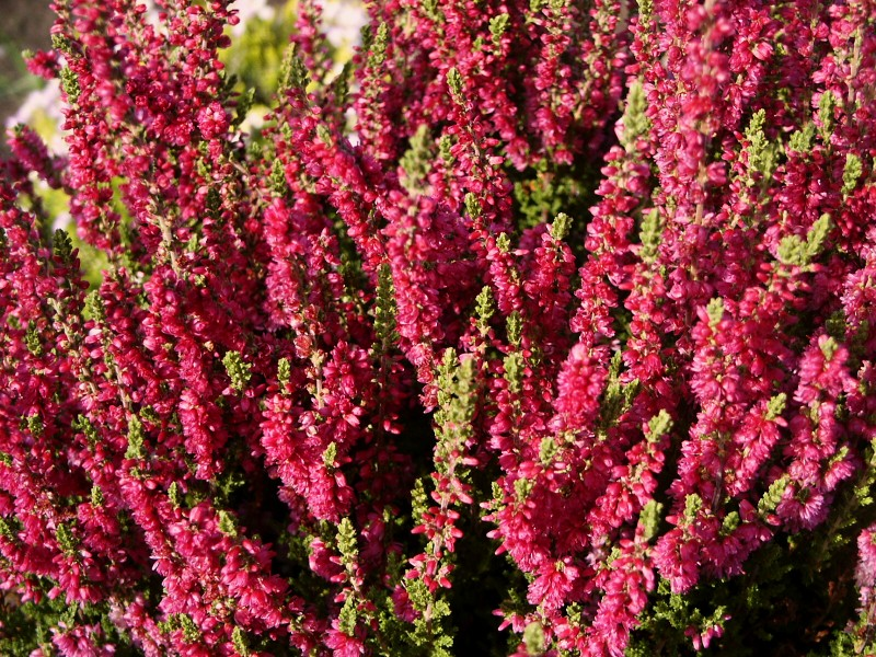 Calluna vulgaris Dark Beauty