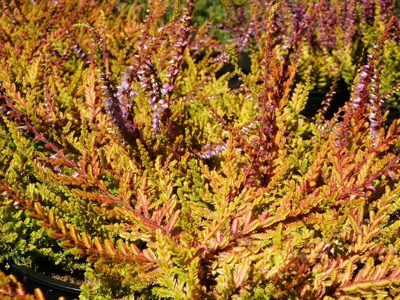 Calluna vulgaris Wickwar Flame