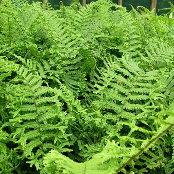 Dryopteris affinis Cristata ( syn. D. affinis The King )