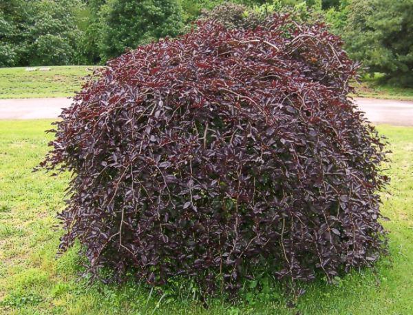 fagus sylvatica purpurea pendula listnat d eviny zahradnictv franc. Black Bedroom Furniture Sets. Home Design Ideas