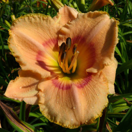 Hemerocallis x April in Paris