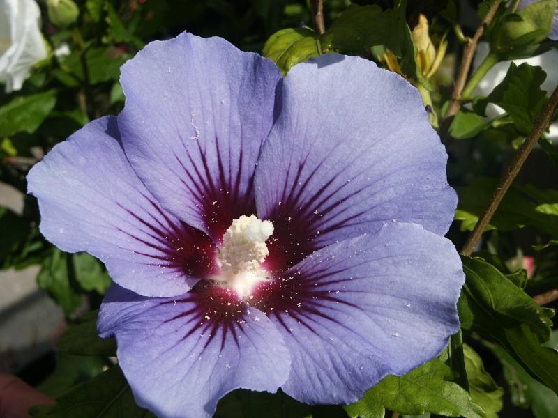 hibiscus syriacus blue bird syn oiseau bleu listnat. Black Bedroom Furniture Sets. Home Design Ideas