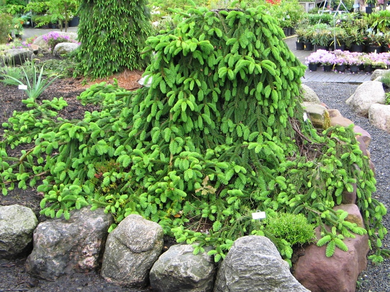 Picea Abies Inversa Picea Smrk Zahradnictví Franc