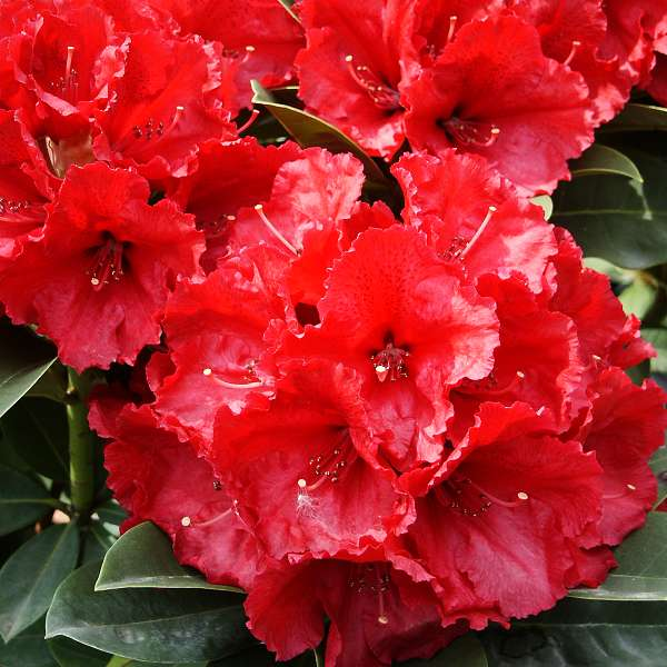 rhododendron hybridum red jack rhod x hybridum. Black Bedroom Furniture Sets. Home Design Ideas