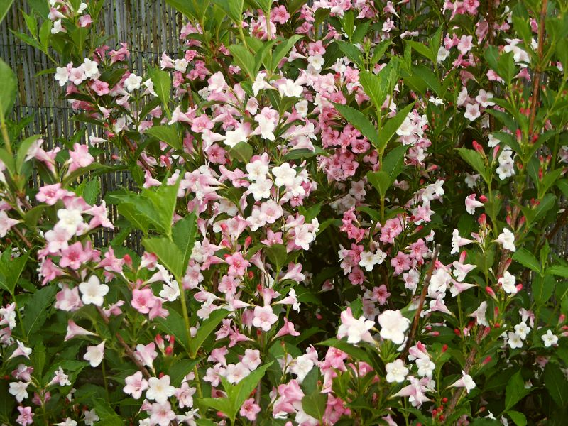 Weigela x hybrida Boskoop Glory