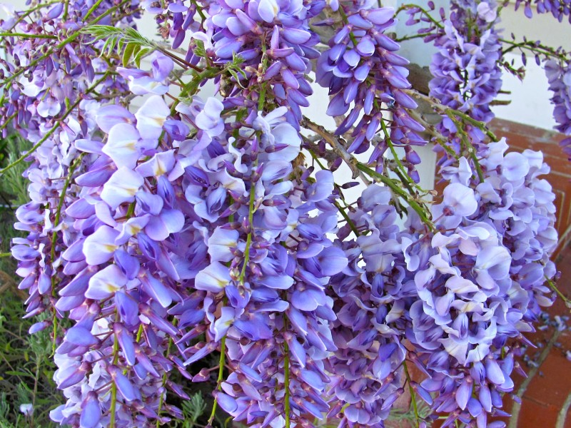 Wisteria floribunda Blue Dream