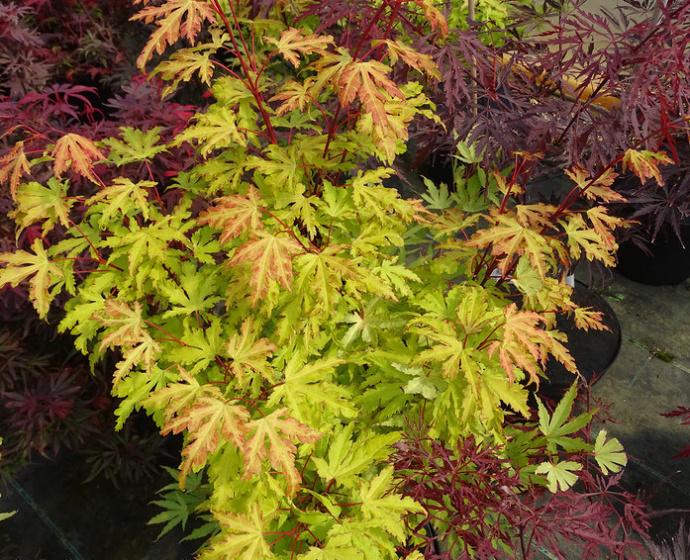 Acer Palmatum Anne Irene Listnaté Dřeviny Zahradnictví Franc