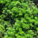 Abies koreana Dark Hill
