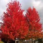 Acer freemanii Autumn Blaze (syn. Jeffersred, PBR)