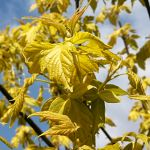 Acer negundo Kelly´s Gold