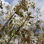Amelanchier x leavis Ballerina