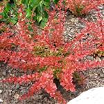 Berberis thunbergii Orange Carpeth
