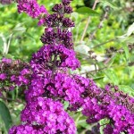 Buddleia davidii Nanho Purple ( syn. Petite Purple )