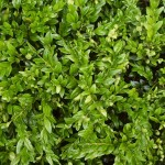 Buxus microphylla Curly Locks