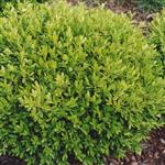 Buxus microphylla Rococco