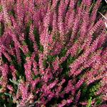 Calluna vulgaris Moulin Rouge (R)