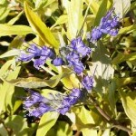 Caryopteris x clandonensis Worchester Gold