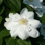 Clematis hybrida Marie Boisselot (syn. Mme Le Coultre)