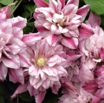 Clematis hybrida Patricia Ann Fretwell