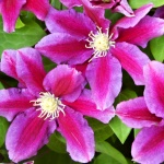 Clematis hybrida Hania