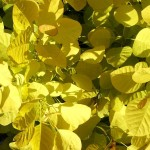 Cotinus coggygria Golden Spirit (R)