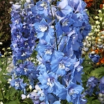 Delphinium x cultorum Magic Fountain Sky Blue White Bee