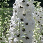 Delphinium x cultorum Magic Fountain White Dark Bee