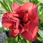 Hemerocallis x Double Firecracker