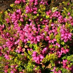 Erica cinerea Summer Gold