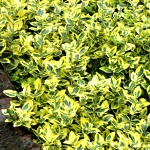 Euonymus fortunei Emerald´n Gold