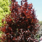 Fagus sylvatica Dawyck Purple