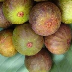Ficus carica Brown Turkey