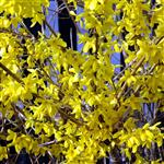 Forsythia x intermedia Golden Bels