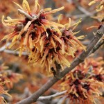 Hamamelis intermedia Jelena (syn. Copper Beauty)