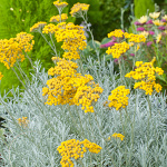 Helichrysum angustifolia Tall Curry