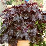 Heuchera americana Palace Purple