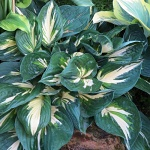 Hosta Clifford´s Stingray (c)