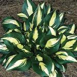 Hosta American Sweetheart (c)