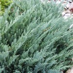 Juniperus horizontalis Blue Moon