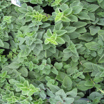 Origanum vulgare Hot and Spicy