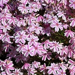 Phlox subulata Candy Stripes