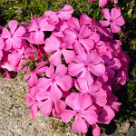 Phlox subulata Mc Daniels Cushion