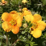 Potentilla fruticosa Hoopley´s Orange