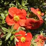 Potentilla fruticosa Super Red