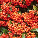 Pyracantha coccinea Orange Glow