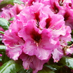 Rhododendron hybridum Ornament