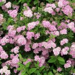 Spiraea japonica Little Princes