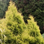 Thuja occidentalis Ellwangeriana Aurea
