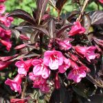Weigela florida Alexandra (c) (syn. Wine and Roses)