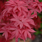 Acer palmatum Twombly´s Red Sentinel